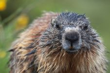 Free Marmot Stock Images - 20059134
