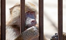 Free Monkey In Jail Stock Image - 20059771
