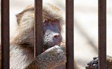 Free Monkey In Jail Stock Image - 20059771