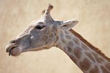 Free Giraffe Stock Photography - 20059792