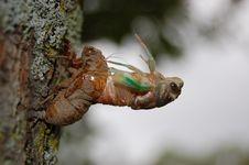 Free Emerging Cicada Royalty Free Stock Photo - 20061085