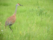 Free Sandhill Crane Stock Photos - 20061123