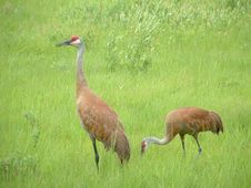 Free Sandhill Cranes Royalty Free Stock Photo - 20061125