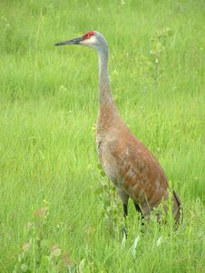 Free Sandhill Crane Royalty Free Stock Photos - 20061128