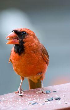 Free Cardinal Stock Photo - 20061910