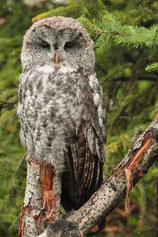 Free Great Grey Owl Stock Images - 20062024