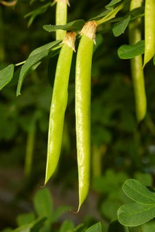 Free Green Seed Pods Hanging From Stem Royalty Free Stock Image - 20062336