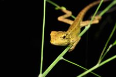 Lizard On Four Royalty Free Stock Photos