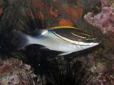 Free Bridled Monocle Bream - Scolopsis Bilineatus Stock Photo - 20063350