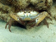 Free Reef Crab - Callinectes Sp. Royalty Free Stock Images - 20063829