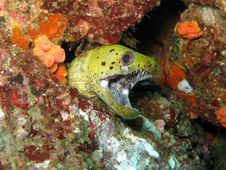 Free Spot Face Moray Eel - Gymnothorax Fimbriatus Stock Images - 20063964