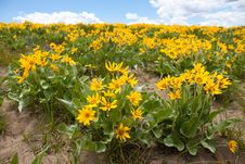 Free Field Of Yellow Daisies Stock Images - 20064924