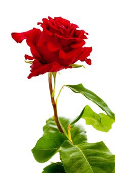 Free Red Rose Royalty Free Stock Photography - 20065197