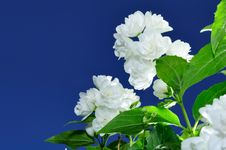 Free Jasmine Flowers Against Blue Sky Background Royalty Free Stock Images - 20065359