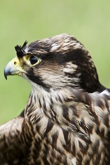 Free Profile Of A Falcon Royalty Free Stock Image - 20065576