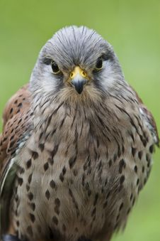 Free Closeup Of A Kestrel Royalty Free Stock Image - 20065706
