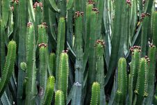 Kaktuses With Fruits In El Paso, La Palma Island Stock Photo