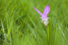 Free Wildflowers  (Siam Tulip ) Stock Image - 20067601