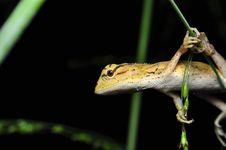 Free Lizard Awaiting Royalty Free Stock Image - 20067956