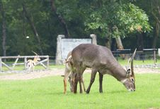 Free Deer Stock Photography - 20067982