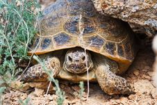 Free Steppe Tortoise Stock Image - 20068771