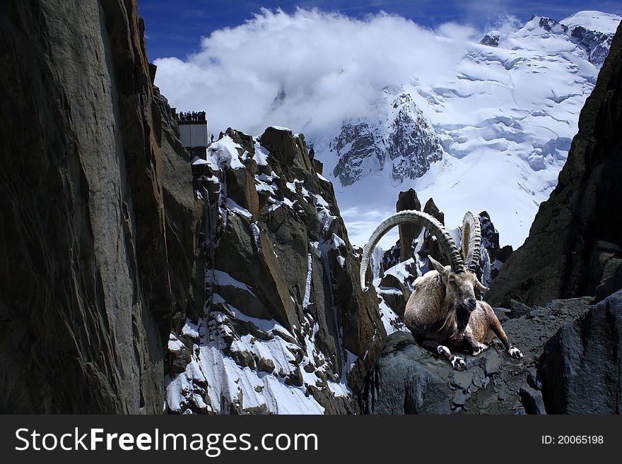 Ibex alps montblanc cliff  nature