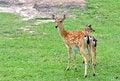 Free Sika Deer Stock Image - 20072701