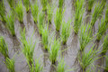 Free Rice Sprouts Stock Photography - 20073732