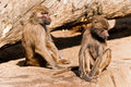 Free Two Male Baboons In A ZOO Stock Photo - 20077700
