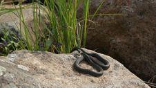 Free Snake On A Stone - Kareliya Royalty Free Stock Photo - 20070155