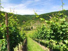 Free Green Vineyard Stock Image - 20070481