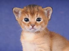 Free Little Abyssinian Kitten Portrait Stock Photo - 20070620
