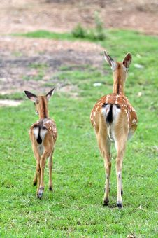 Free Sika Deer Royalty Free Stock Photography - 20072697