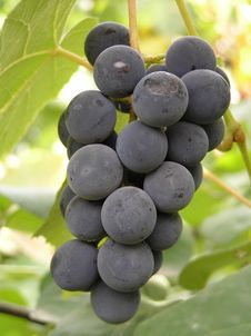 Free Grape Royalty Free Stock Images - 20072729