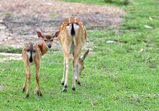 Free Sika Deer Royalty Free Stock Image - 20072746