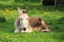 Free Sleepy Donkey Royalty Free Stock Photos - 20073008