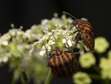 Free Graphosoma Lineatum Royalty Free Stock Photos - 20073108