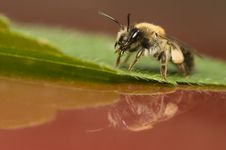 Bee - Apis Mellifera Royalty Free Stock Images