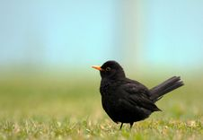 Free Blackbird (Turdus Merula) Stock Photos - 20074653