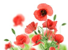 Free Beautiful Red Poppies Royalty Free Stock Images - 20075079