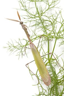 Mantis Aerial View Royalty Free Stock Photography