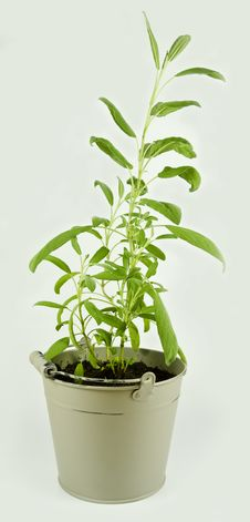 Free Salvia In A Pot Royalty Free Stock Photography - 20079307