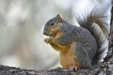 Free Squirrel Stock Image - 20080161