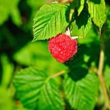 Free Plant Of Framboise Stock Images - 20080494