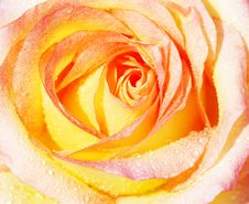 Free Yellow Rose Background Stock Images - 20080514