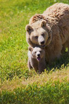 Free Mother Bear And Cub Stock Photos - 20080523
