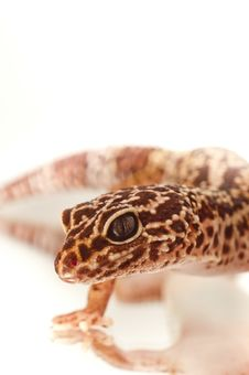 Free Young Leopard Gecko Royalty Free Stock Images - 20081439