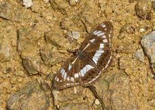 Free Butterfly -Limenitis Helmanni Lederer Stock Images - 20083934