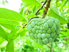 Free Custard Apple Stock Images - 20084824