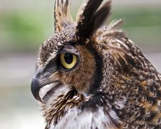Free Great Horned Owl Stock Images - 20084884